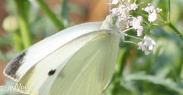 Cabbage Moth